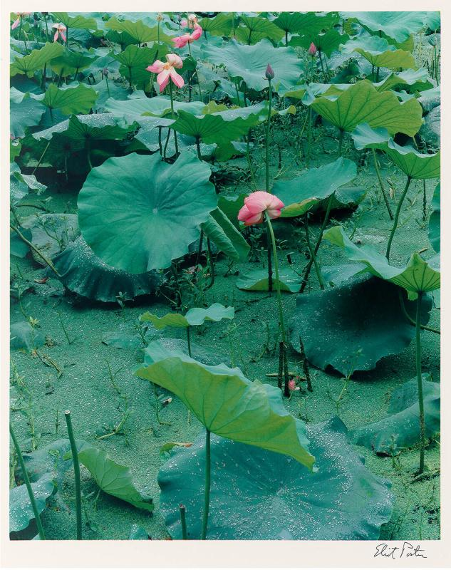 Lotus and Azolla (from Survey 1986)