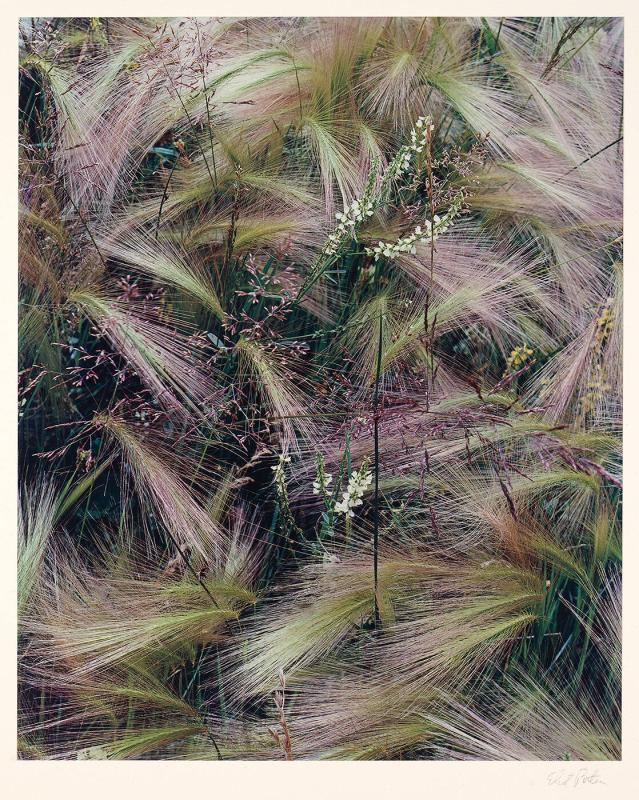 "Foxtail Grass, Lake City, Colorado, August 1957 (from ""Intimate Landscapes, 1979"")"