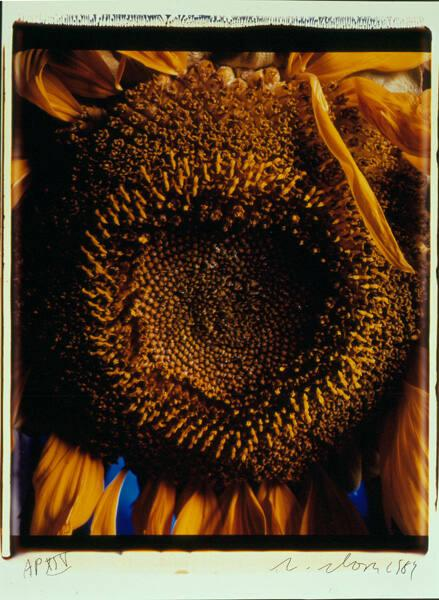 "Sunflower (from ""The Indomitable Spirit Portfolio"")"